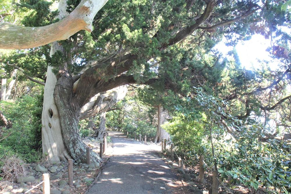ビャクシン樹林22