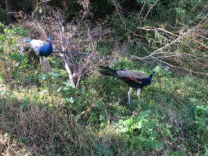 闊歩する孔雀