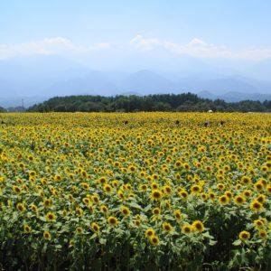 明野ひまわり畑