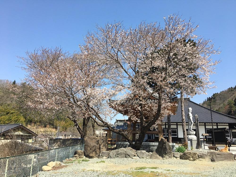 常幸院の桜