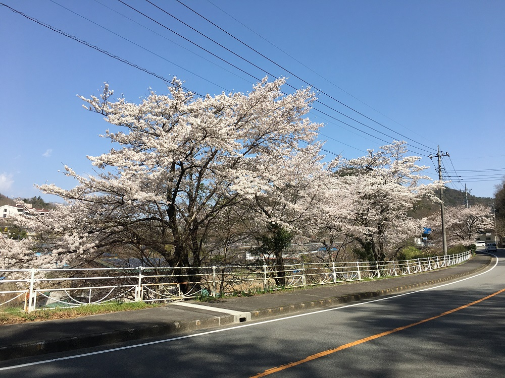 志摩リンの家の前の桜