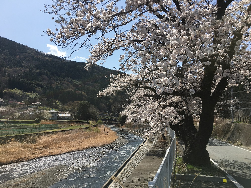 甲斐常葉駅の桜と河原