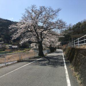 甲斐常葉駅の桜並木