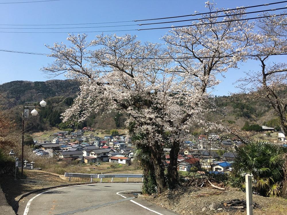 身延高校カーブにある桜