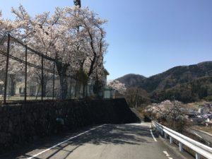 身延高校前の桜