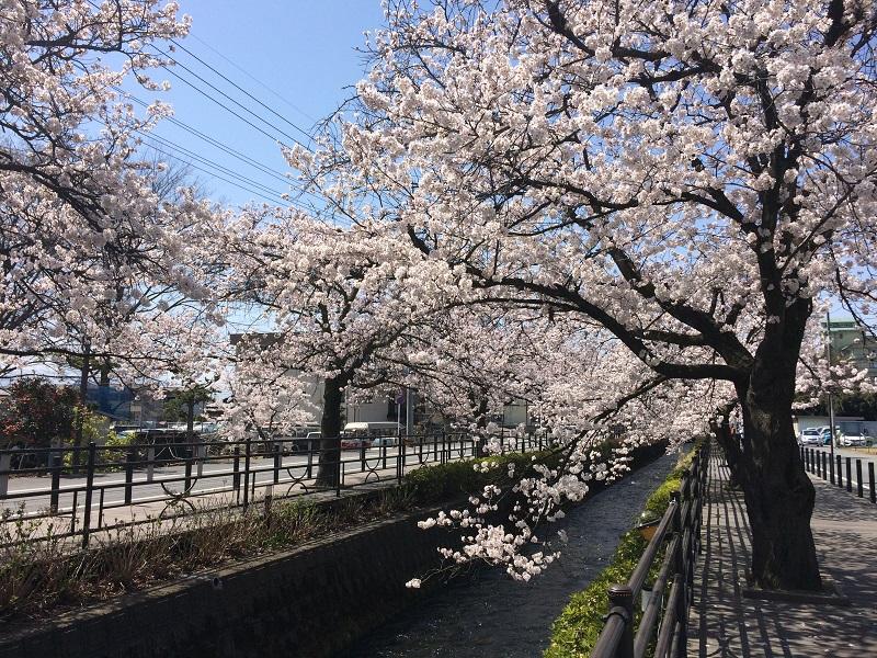 石和温泉さくら通り満開の桜